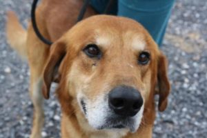 kilner is a golden retriever mix at SVASC