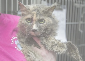 Ezma the cat is available for adoption in Lyndhurst Virginia Shenandoah Valley Animal Services