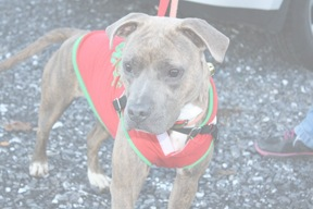 Prudence is ready for the Christmas Parade for Shenandoah Valley Animal Services Center December 2015