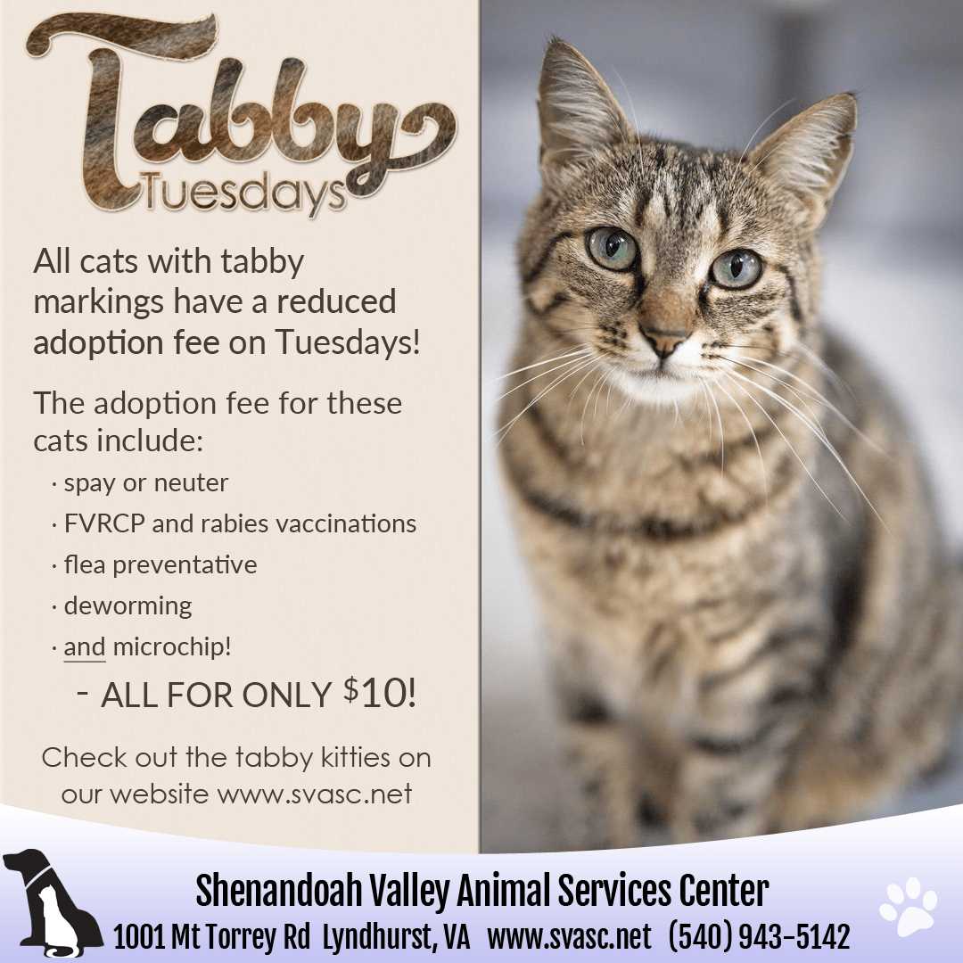 Tabby Tuesday offers $10 adoption fee for all tabby colored cats